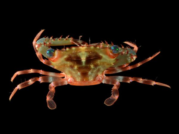 One such creature from the deep - a beautiful swimming crab. Photo courtesy FLMNH.