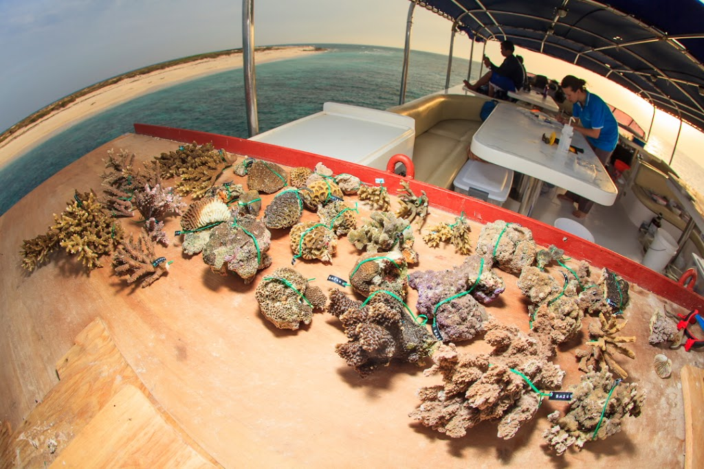 Coral specimens to be added to the reference collection must dry on deck before being bleached, labeled, and carefully stored. Photo courtesy Tane Sinclair-Taylor.
