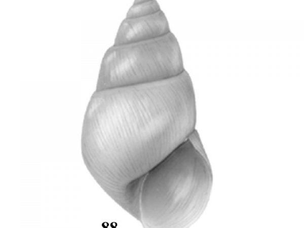 Freshwater Snails Of Florida Id Guide Invertebrate Zoology