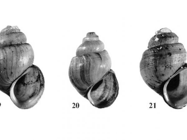 Freshwater Snails of Florida ID Guide – Invertebrate Zoology