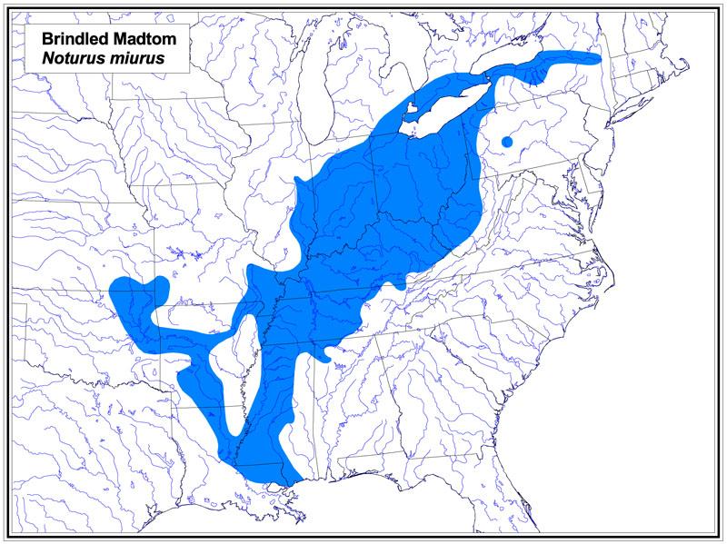 Brindled Madtom map