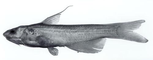 Cetopsidium pemon