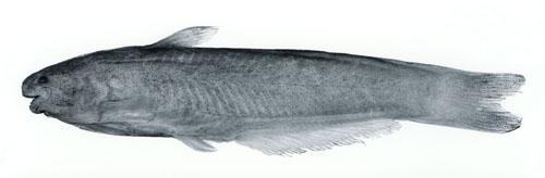 Cetopsis amphiloxa