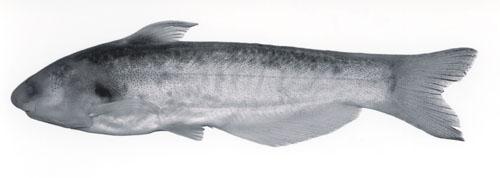 Cetopsis orinoco
