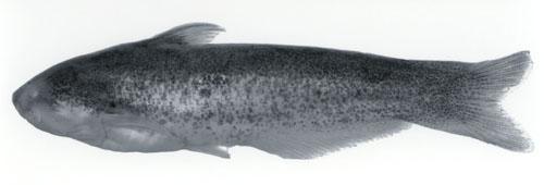 Cetopsis plumbea