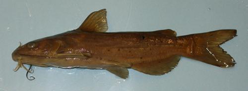 Headwater Catfish