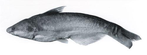 Paracetopsis atahualpa