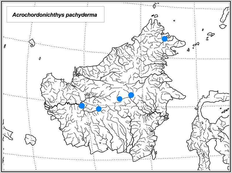 Acrochordonichthys pachyderma