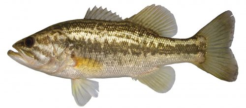 Lateral view of largemouth bass