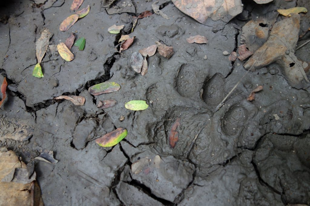 Fish aren't the only wildlife researchers might have close encounters with in the Mae Klong. In 2019, the team also found fresh tiger prints on the path to the field station on their first night. Florida Museum photo by Zachary Randall