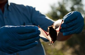 Researcher holding an injured bat