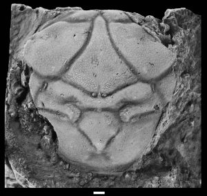 This fossil shell a new species of crab, Laeviprosopon crassum, is described the Jan. 23, 2013, study in Crataceous Research.Photo by Adiël Klompmaker