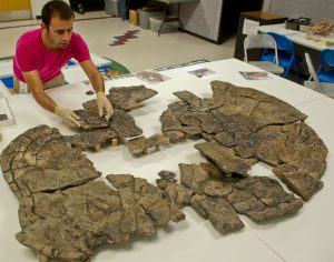 Former University of Florida graduate student Edwin Cadena pieces together an extinct giant turtle discovered in the Colombian coal mine with Titanoboa.Florida Museum of Natural History photo by Jeff Gage