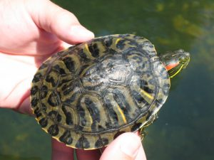 This red-eared slider was found in the North Fork of White River in Ozark County, Mo., where Florida Museum of Natural History researchers surveyed turtles from 2005 to 2007. Photo by Amber Pitt