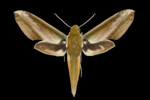 A new study co-authored by a University of Florida researcher shows hawkmoths, including this species, Theretra nessus, produce ultrasound as a defense mechanism against bats. The study published online today in Biology Letters identified three hawkmoth species that use a sound-producing system found in the genitals. Florida Museum of Natural History photo by Pablo Padron