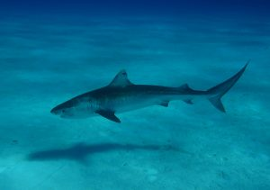 A new study by University of Florida and University of Hawaii scientists shows tiger sharks, like the one pictured here in the Bahamas in May, exhibit complex migration patterns. Florida Museum of Natural History photo by Yannis Papastamatiou