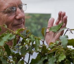 Florida Museum of natural history distinguished professor, Doug Soltis, holds an Amborella plant in the Florida Museum greenhouse. Florida Museum of Natural History Photo by Jeff Gage