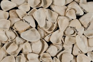 These Donax trueloides shells from the Florida Museum collections are the same type of seashells found on the Mediterranean coast of Spain where researchers surveyed a small stretch of shoreline. Florida Museum photo by Jeff Gage