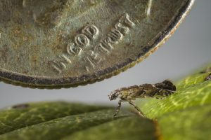 The Philodoria marginestrigata moth, pictured with a dime for reference, feeds during its larval stage within the leaf tissue of 12 families of native Hawaiian plants. Florida Museum of Natural History photo by Chris Johns