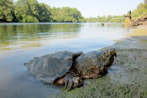 This alligator snapping turtle was photographed on the Suwannee River in 2011 after being caught in a trap as part of a three-year research project. Photo courtesy of Kevin Enge
