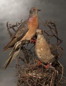 Passenger Pigeons
