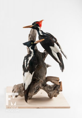 Ivory-billed woodpeckers were officially declared extinct in the 1990s, after decades of unconfirmed sightings of this iconic bird. Controversial sightings in the early 2000s have caused many to question its extinction, though no new evidence has been found despite many searches. Florida Museum photo by Kristen Grace