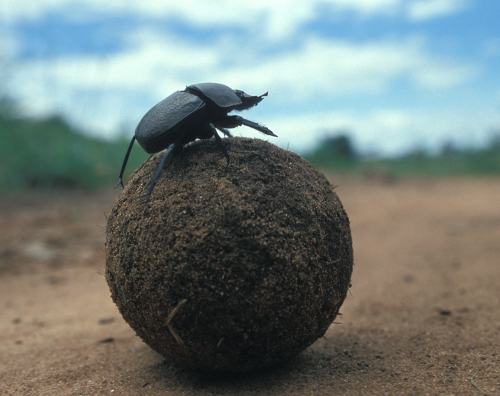 Dung beetle on dung ball