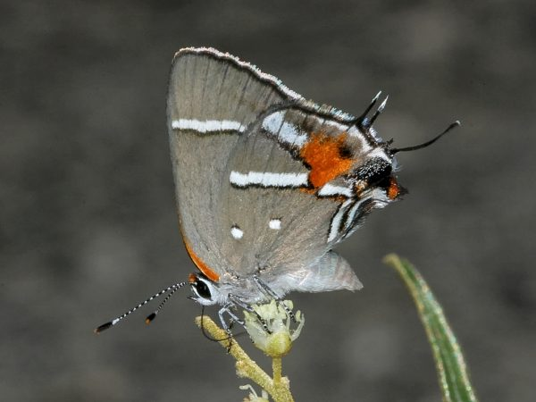 A Bartram's scrub-hairstreak butterfly feeding off nectar. ©Photo by Bill Bouton