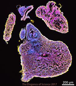 Mouse heart tissue stained with flouroscent antibodies.