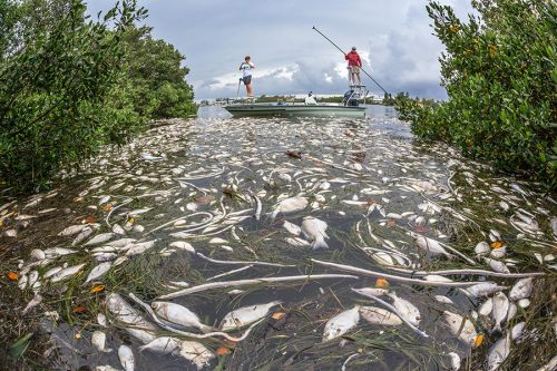 Red tide has caused the death of thousands of marine animals, like these fish in Sarasota Bay. ©Photo courtesy of John Moran