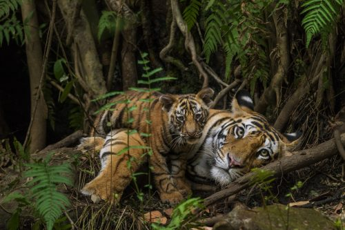 tiger lying down with cub