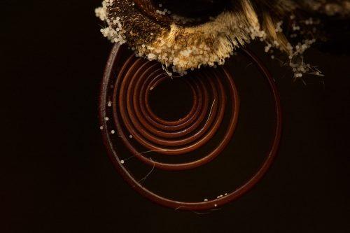 Close-up image of sphinx moth proboscis