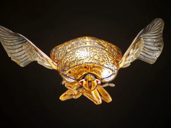 high-res image of kudzu bug