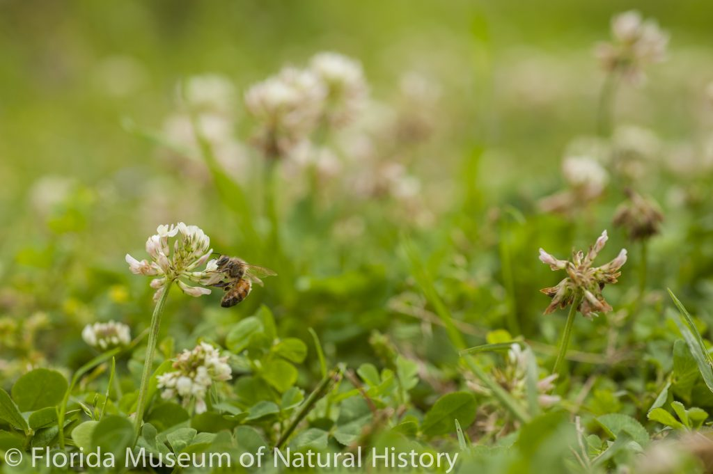 Bee and Clover 3