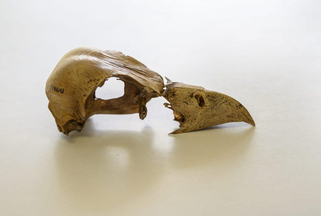 fossil bird skull