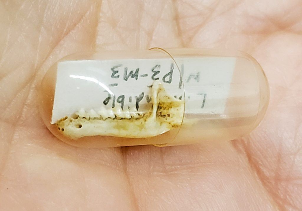 small bat jaw fossil in clear capsule