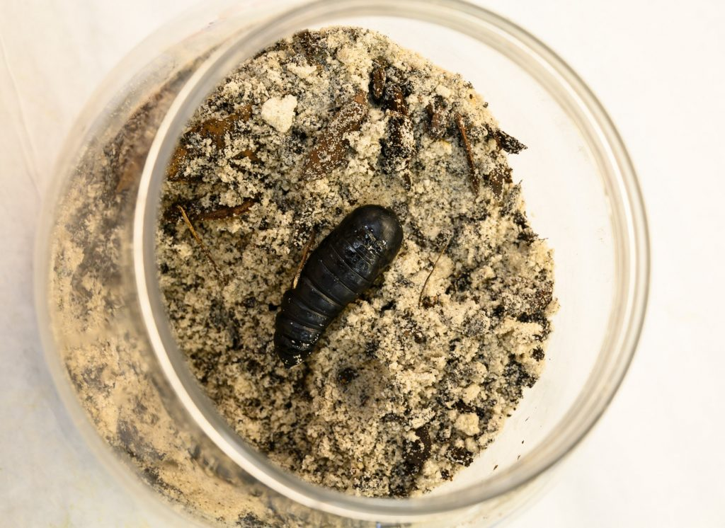 dark pupa in jar of dirt