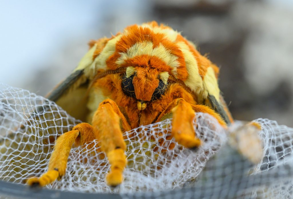 close up of fuzzy moth face