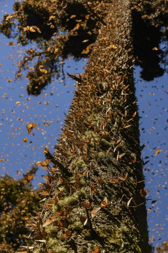 thousands of butterflies sitting in a large tree