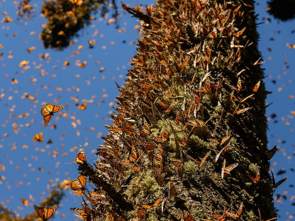 thousands of butterflies sitting on a large tree