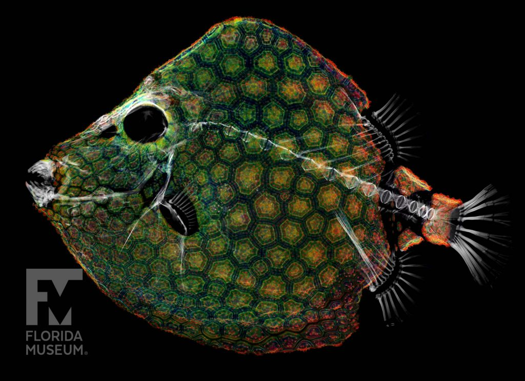 intricately patterned scales and skeeton of digitized fish specimen