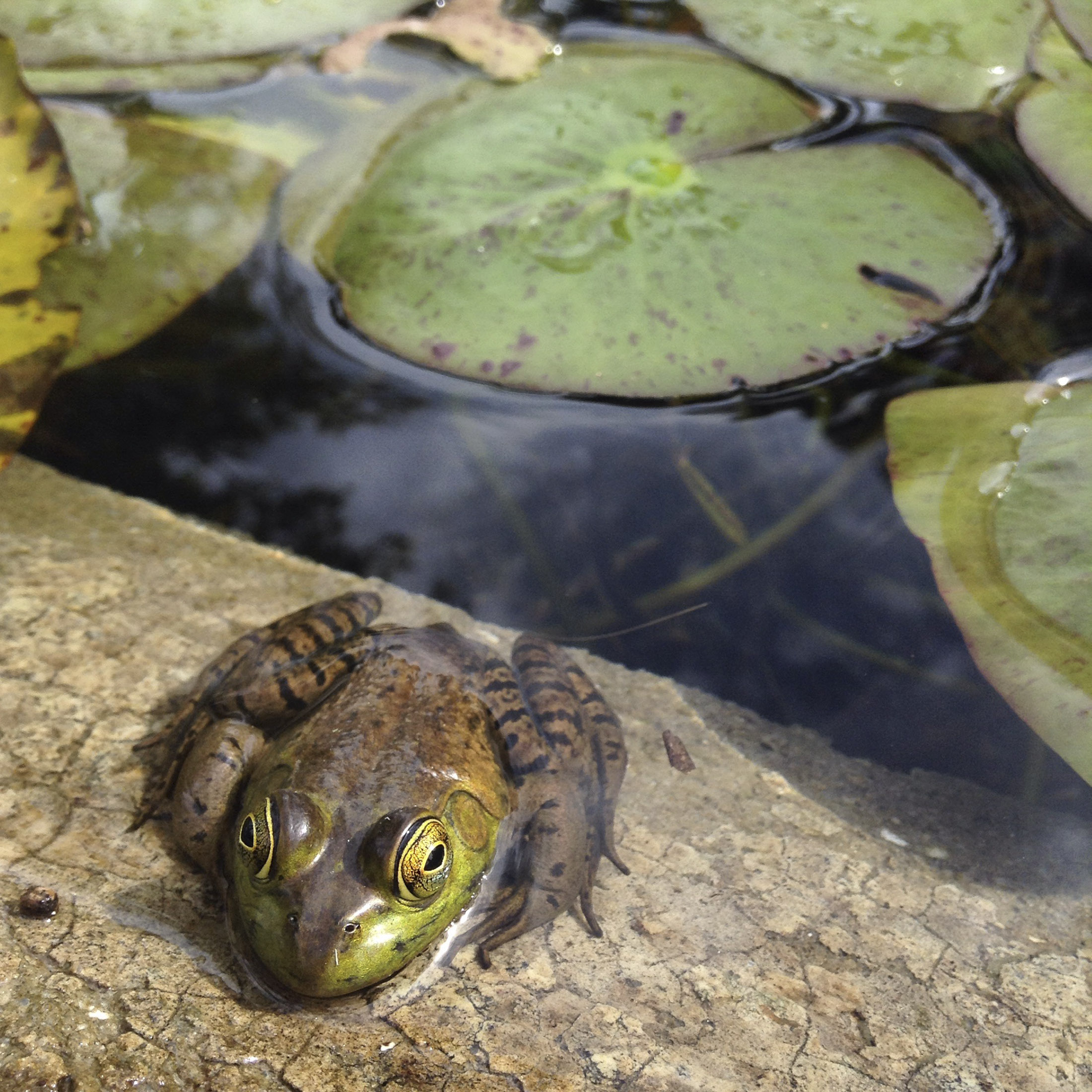 A frog on the edge of a pond.