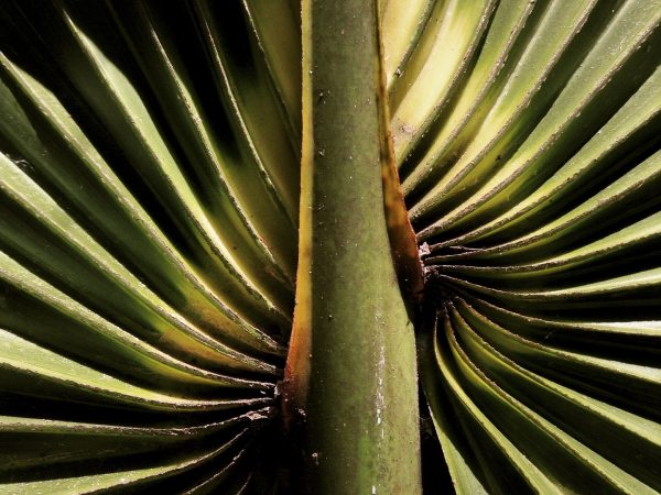 Detail of a palm frond.