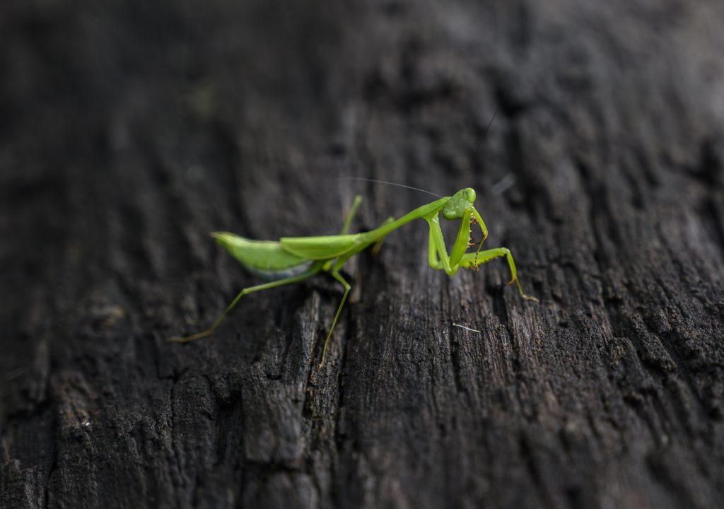 Praying mantis on a log.