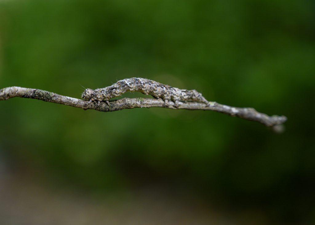 A caterpillar on a stick.