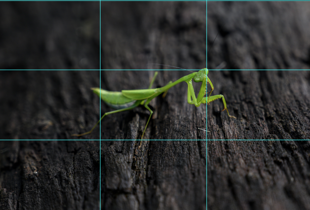 Praying mantis on a log with rule of thirds grid overlaid.