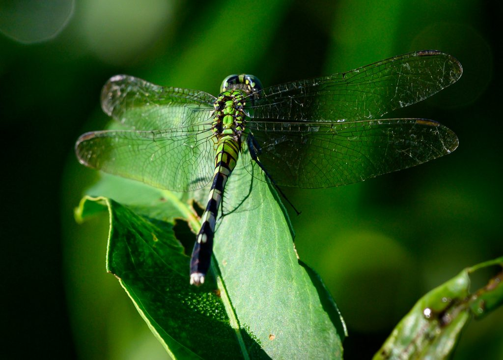 close up of a green dragonfly against wet green leaves
