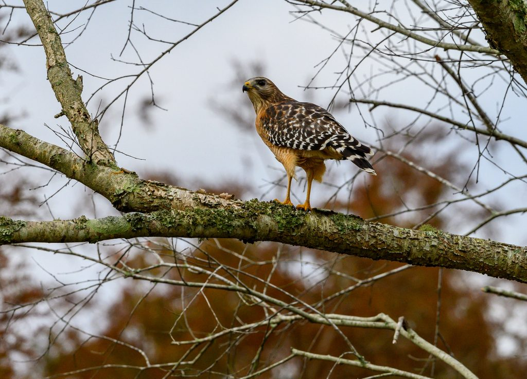 red-shouldered hawk perches on a tree branch