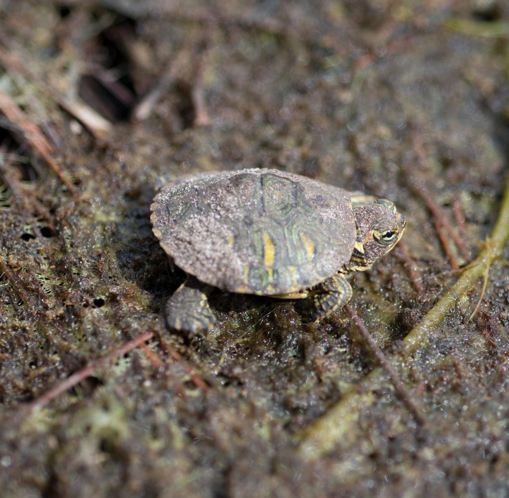 close up of a very tiny turtle covered in pond sand and algae