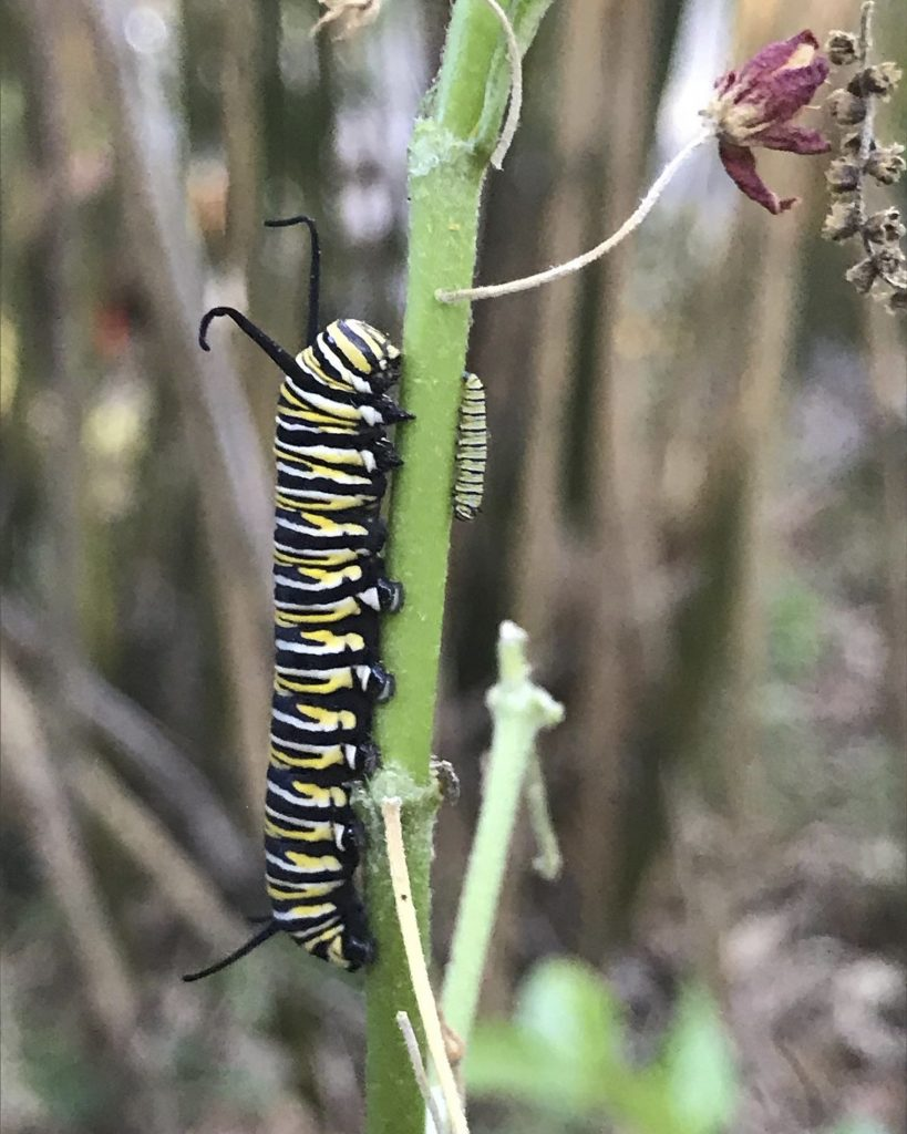 A monarch caterpillar eats milkweed.